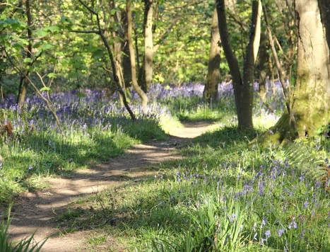 bluebells in tehidy country park