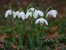 snowdrops in the hedges