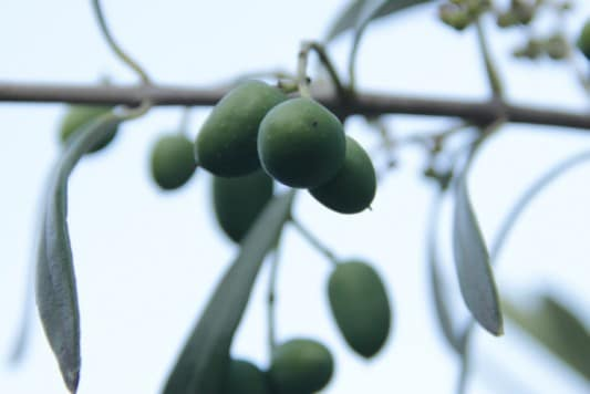 olives growing at Tehidy Holiday Park