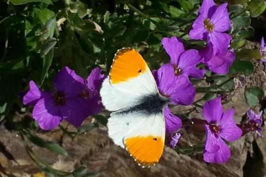 Butterflies in Cornwall