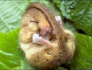 Dormouse in Cornwall