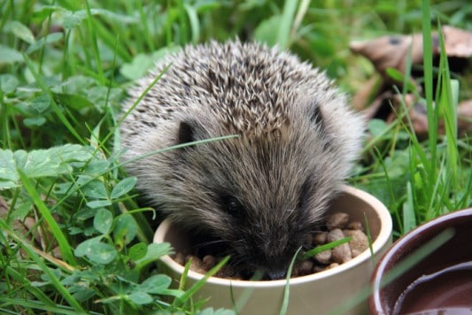 hedgehog preparing for hibernation