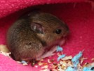 wood mouse feeding itself