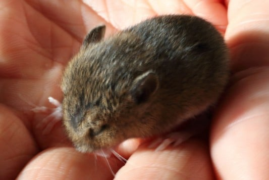 Baby wood mouse