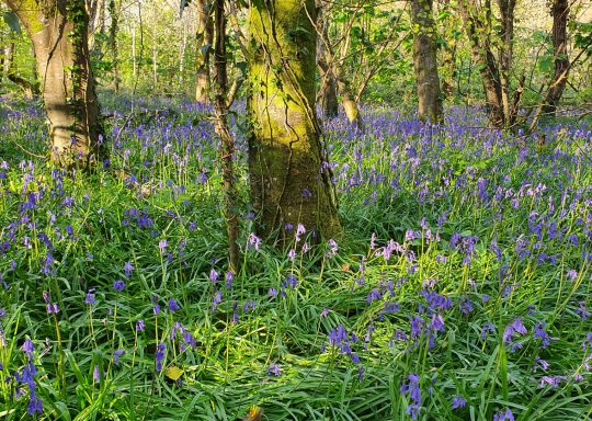 Bluebells in Tehidy Woods